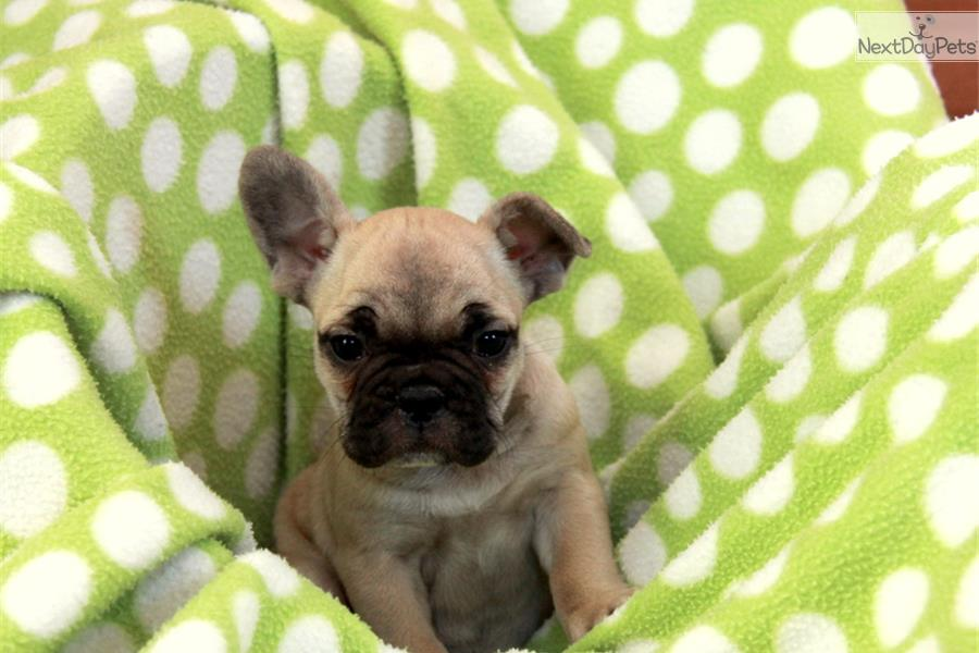 Bulldog   French Bulldog puppy for sale near Lancaster, Pennsylvania