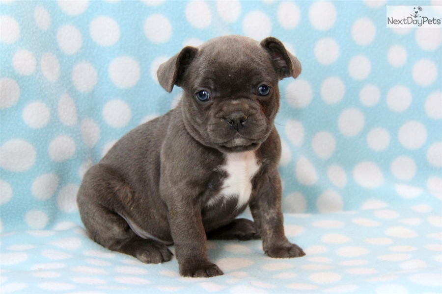 French Bulldog | Black Female French Bulldog For Sale in Lancaster PA ...