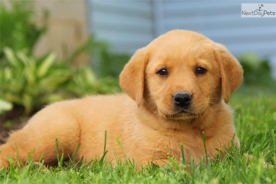 goldador puppy for sale near lancaster pennsylvania