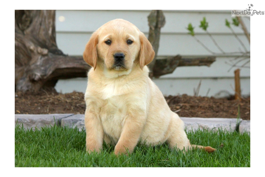 Goldador puppy for sale near Lancaster, Pennsylvania  f79858d99031