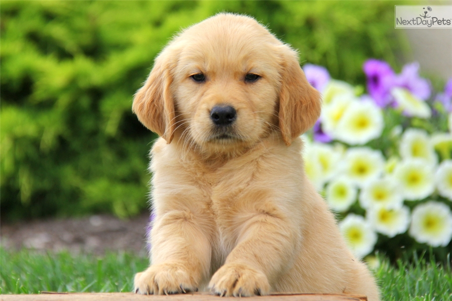 Golden Retriever puppy for sale near Lancaster