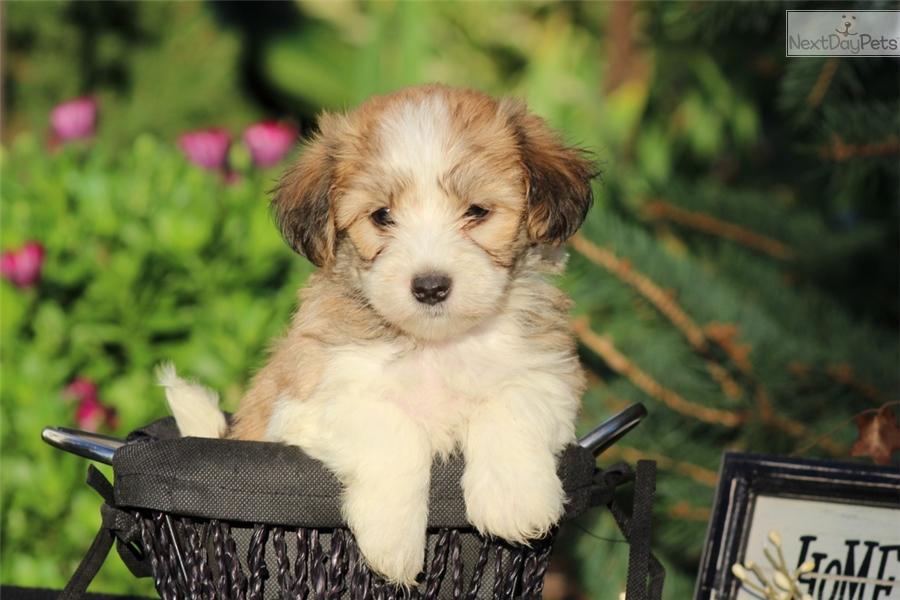 Pomeranian Husky Mix For Sale In Alabama | Dog Breeds Picture