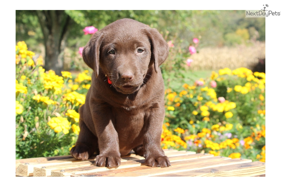 Labrador Retriever puppy for sale near Lancaster ...