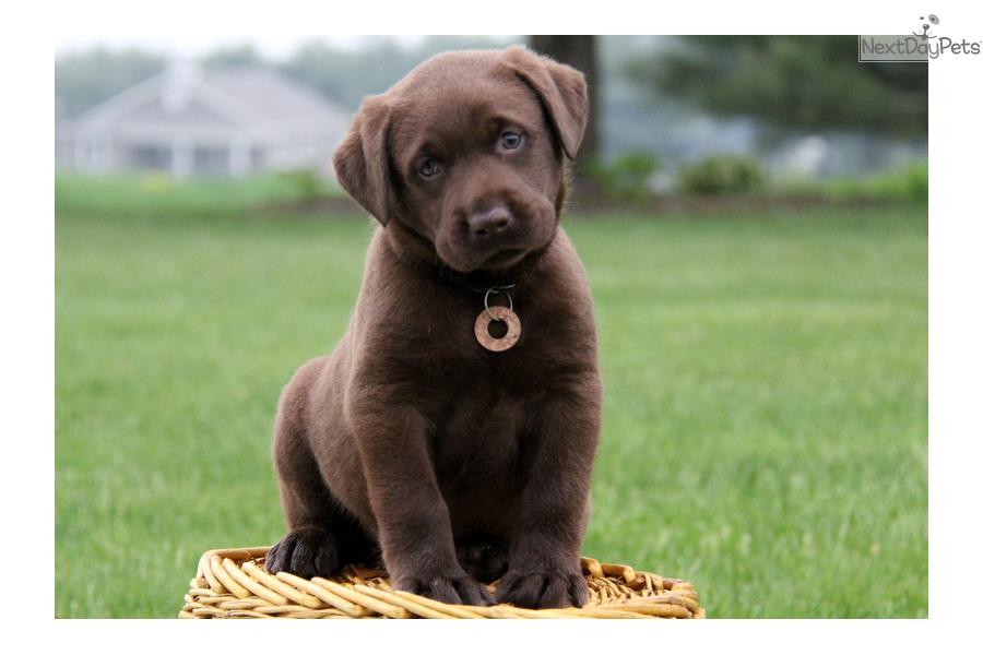 Chocolate Lab Puppies For Adoption In Ohio | Dog Breeds ...