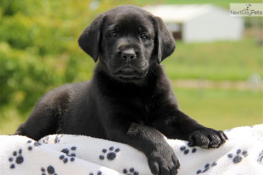 Meet Harlow A Cute Labrador Retriever Puppy For Sale For