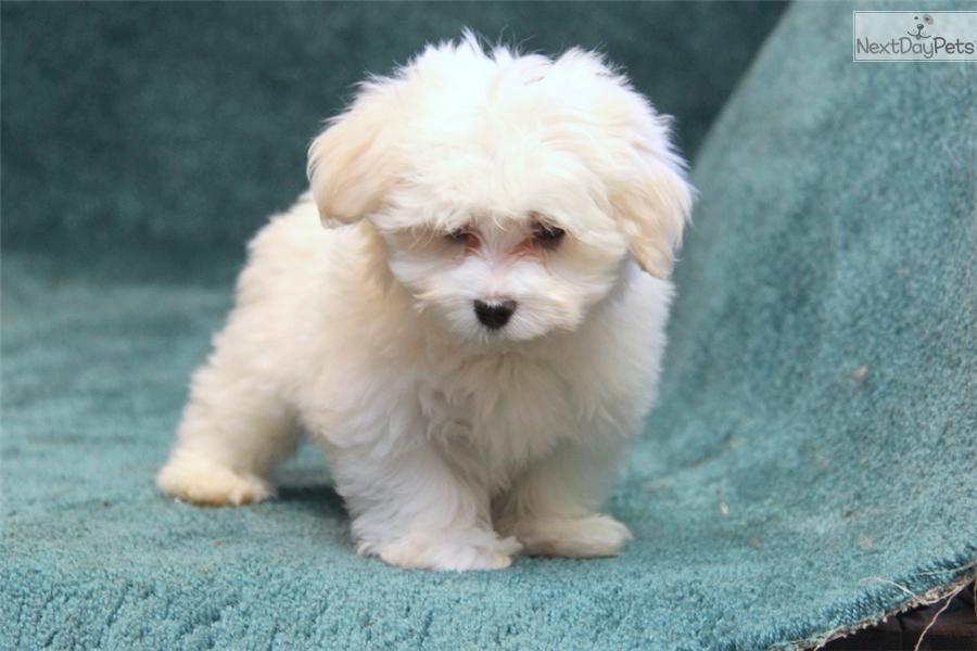 Maltese puppy for sale near lancaster pennsylvania 27f6de56 4811