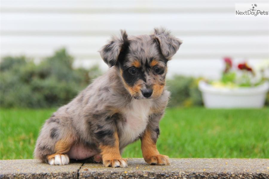 Miniature australian shepherd puppy for sale near lancaster