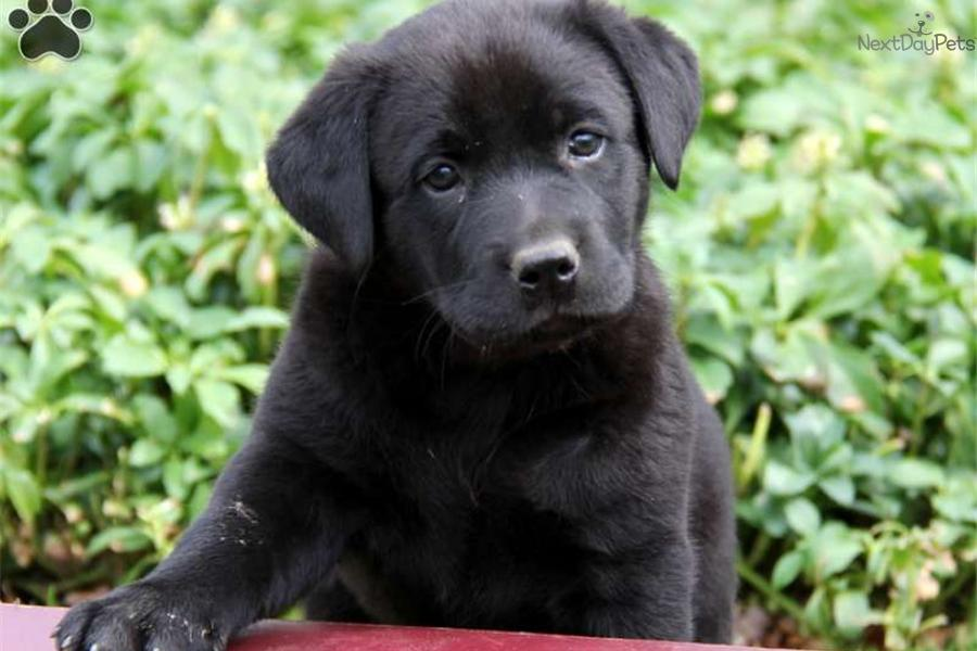 Black Chow Mix Puppy Black Lab Chow Mix Puppies