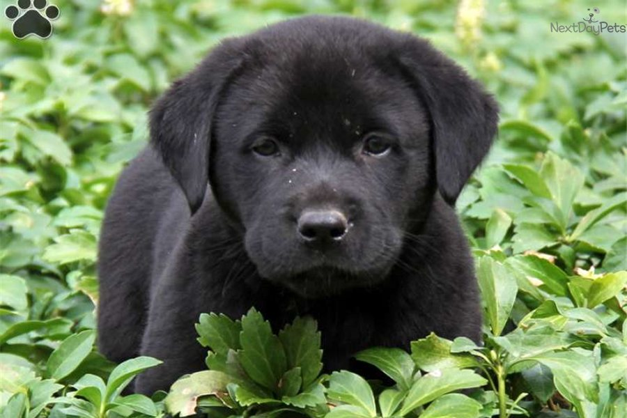 Mixed/Other puppy for sale near Lancaster, Pennsylvania | 40d0a74c ...