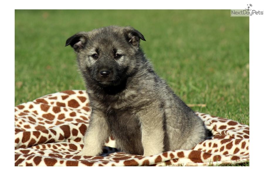 Fletcher: Norwegian Elkhound puppy for sale near Lancaster ...