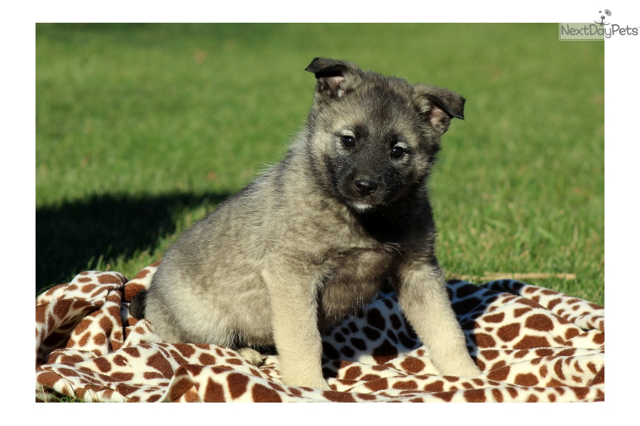 Feather: Norwegian Elkhound puppy for sale near Lancaster ...