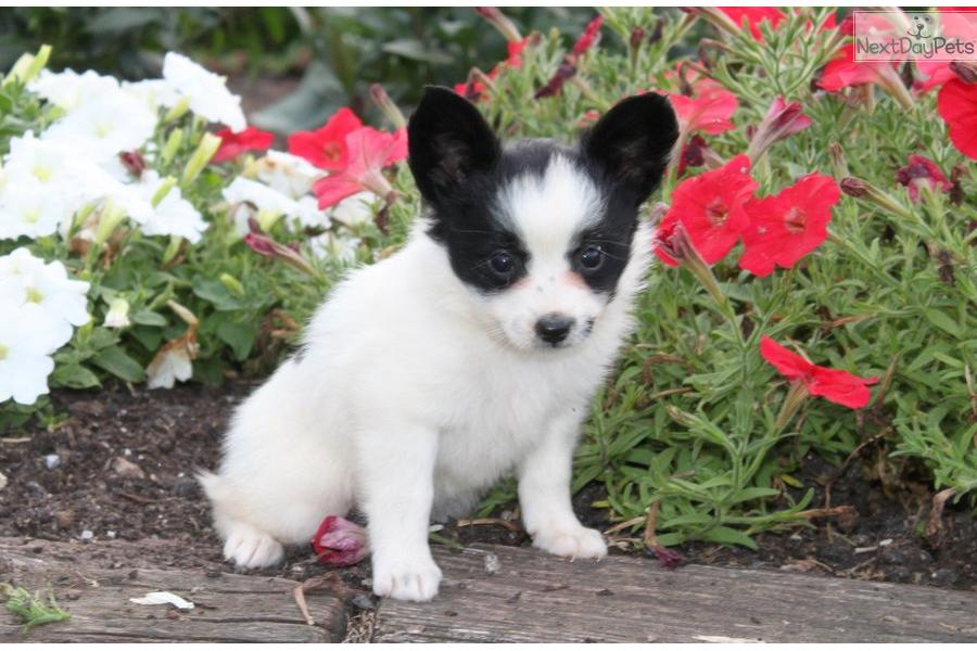 Meet Female a cute Papillon puppy for sale for $550. Poppy / Papillon