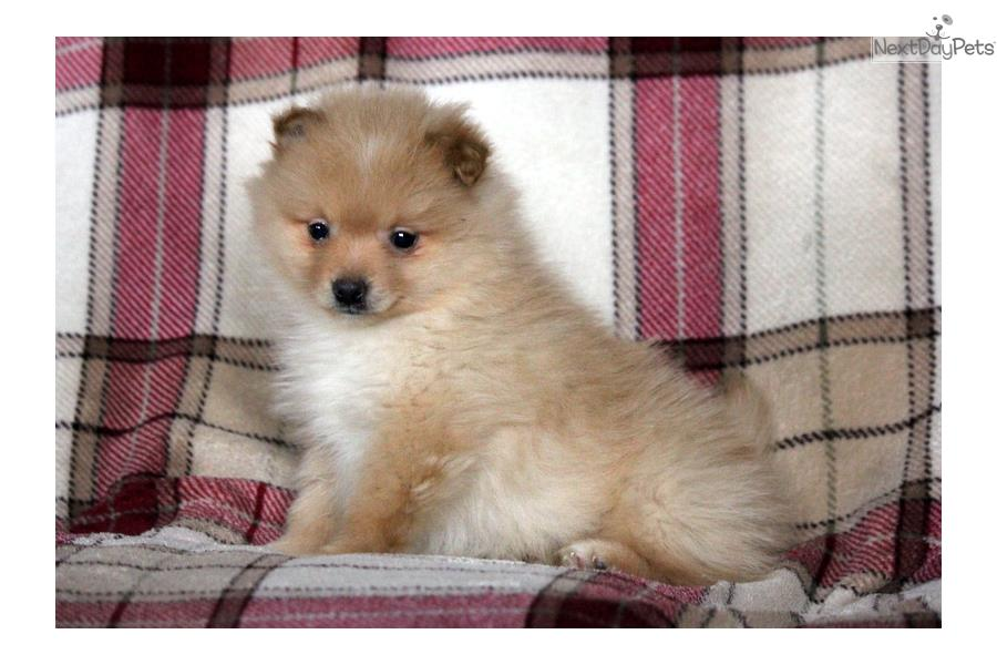 Pomeranian Puppies for Sale  Lancaster Puppies
