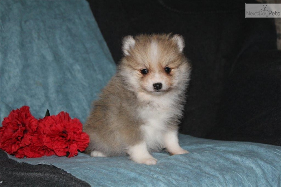 teacup pomsky puppies related keywords amp suggestions   teacup pomsky