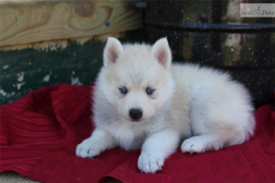pomsky puppies for sale in spokane washington   seterms