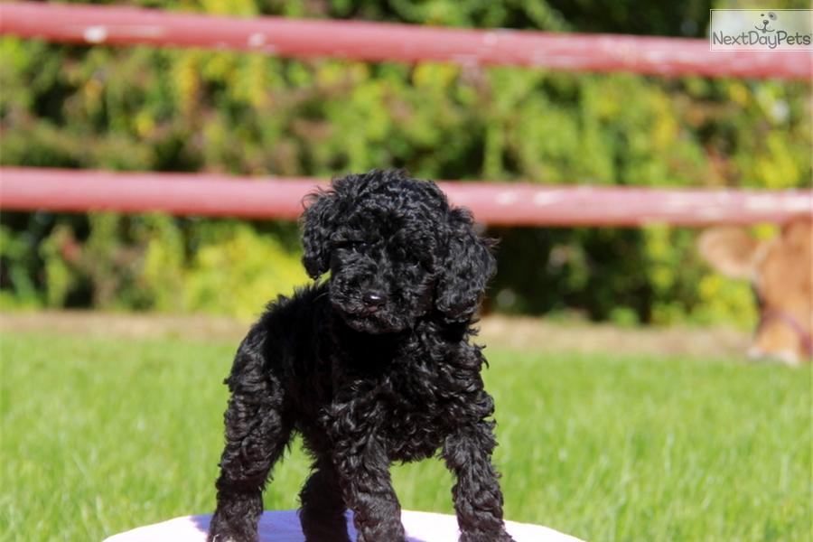 Poodle miniature puppy for sale near lancaster pennsylvania