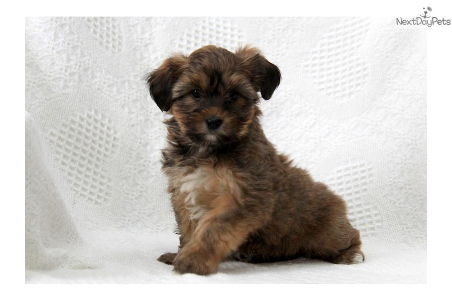 Meet Female a cute Shorkie puppy for sale for $600. Tessie / Shorkie