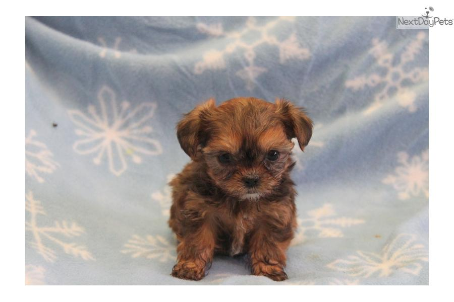 ... cute Shorkie puppy for sale for $750. Tessy / Shorkie - Teacup