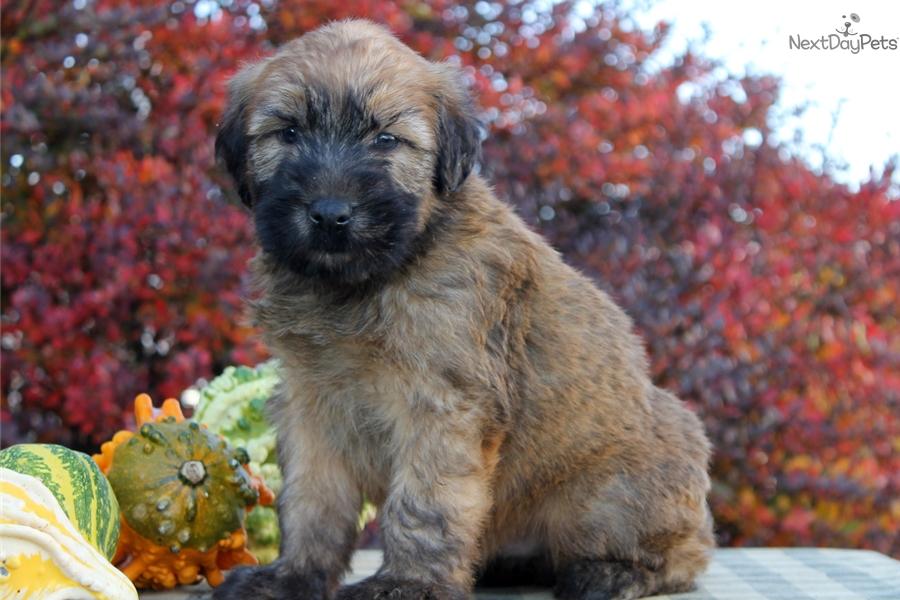 Texas Wheaten Terriers