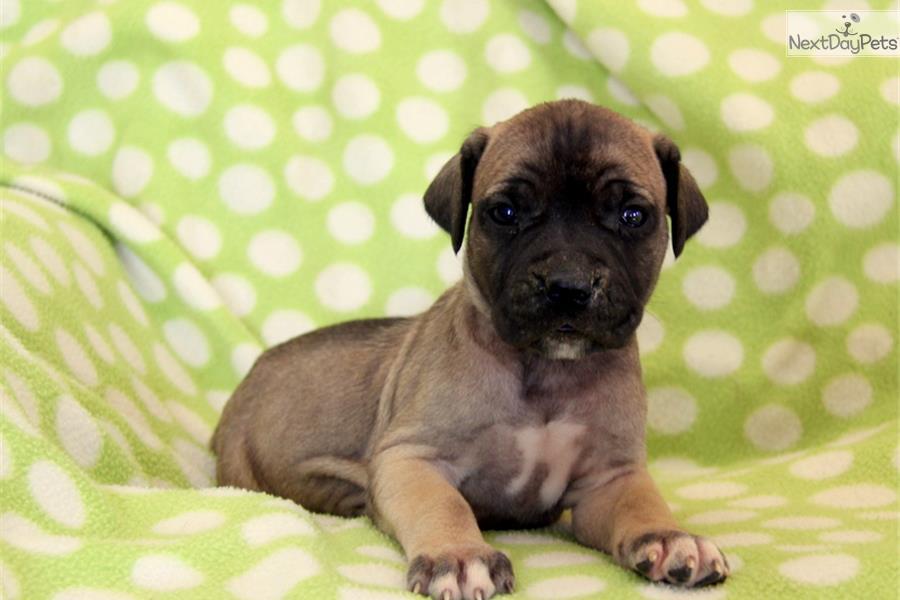 PuppyFind   Boerboel Puppies for Sale