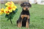 Picture of Micah / Airedale Terrier