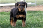 Picture of Marcus / Airedale Terrier