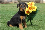 Picture of Marci / Airedale Terrier