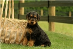 Picture of Willow / Airedale Terrier