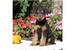Picture of Sophie / Airedale Terrier