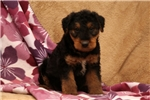 Picture of Thomas / Airedale Terrier