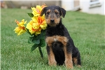 Picture of Matthew / Airedale Terrier