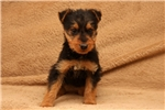 Picture of Wendy / Airedale Terrier