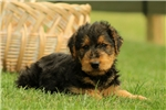 Picture of Waverly / Airedale Terrier