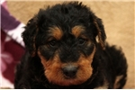Picture of Tabitha / Airedale Terrier