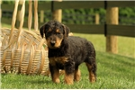 Picture of Woodson / Airedale Terrier