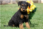 Picture of Marshall / Airedale Terrier
