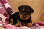 Picture of Theo / Airedale Terrier