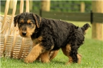 Picture of Whinnie / Airedale Terrier