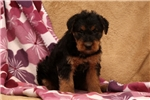 Picture of Teresa / Airedale Terrier