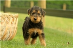 Picture of Wren / Airedale Terrier