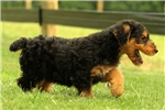 Picture of Whispy / Airedale Terrier