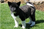 Picture of Rocky / Akita