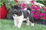 Picture of Teddy / Akita