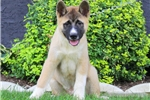 Picture of Lyle / Akita