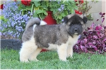 Picture of Theo / Akita