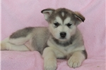 Picture of an Alaskan Malamute Puppy