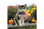 Picture of Sasha / Alaskan Malamute