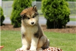 Wishes / Alaskan Malamute | Puppy at 10 weeks of age for sale