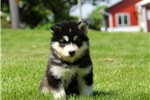 Tessa / Alaskan Malamute | Puppy at 9 weeks of age for sale