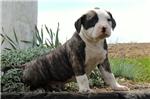 Picture of Danny / American Bulldog